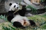 Panda DSC_8827