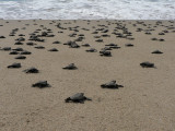 They make their way to the ocean...slowly