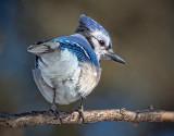 Blue Jay Tailfeathers 24380