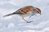 Sparrow On Snow 24381