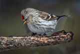Common Redpoll 24392