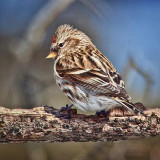 Common Redpoll 24424