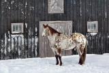 Horse In Snow 06729