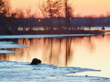 Beaver On Ice 24462