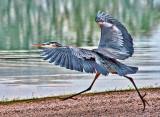 Heron On The Run 25327