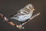 Common Redpoll 24398
