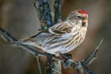Common Redpoll 24418