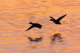 Ducks In Flight Silhouettes 20110422