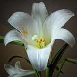 Easter Lily 20110423