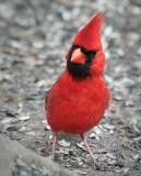 Cardinal On The Ground 24784