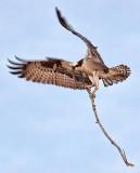 Osprey Nest Material 20110425