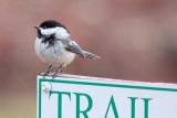 Chickadee On A Sign 24810