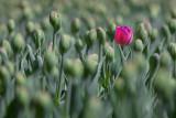Lone Red Tulip 25192