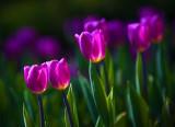 Backlit Purple Tulips 25202