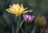 Yellow & Purple Tulips 25184