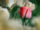 Lone Red Tulip 25187