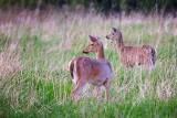 Two Deer In A Field 25308