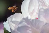 Incoming Bee 25531