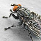Fly Closeup DSCF01835