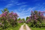 Lilac Lane 10199