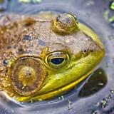 Bullfrog 11049