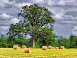 Tree Among Bales 20110629