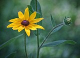 Black-eyed Susan 20110707