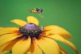 Bee Fly In Flight 25686