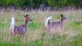 Two Deer In A Field 25321