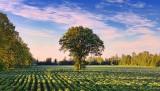 Tree In A Field 12822-3