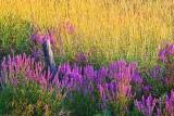Purple Loosestrife 20110805