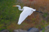 Egret In Flight 25885