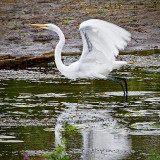 Egret Taking Flight 25882