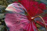 Fallen Lily Pad 14784-5