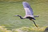 Heron In Flight 20110909