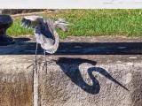 Heron Taking Flight 15191