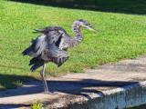 Ruffled Heron 15217