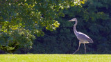 Backlit Heron 15160