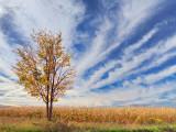 Cornfield Tree 17172-3