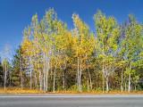 Roadside Birches DSCF02517