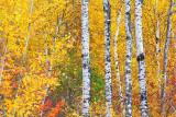 Autumn Birches 20111010