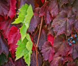 Autumn Vine 20111013