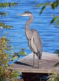 Great Blue Heron 26042
