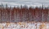 Birch Woods 20338