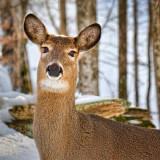 Deer Head 21472