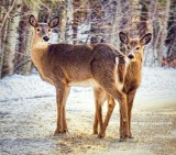 Doe & Yearling 21460