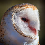 Barn Owl Portrait 75684