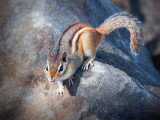 Chipmunk On The Rocks 26217