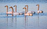 Six Swans A-Swimming 20120327