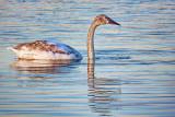Dripping Swan 26433